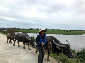 Some passing water buffalo.